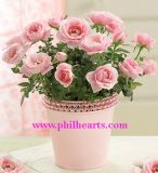 Lovely Pink Rose Plant