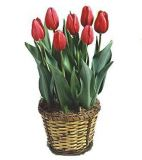 Prominence Tulips