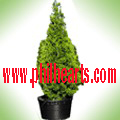 Vertical Arocaria Upright Junipe