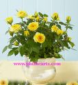 Lovely yellow Rose Plant